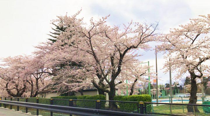 長根公園 桜